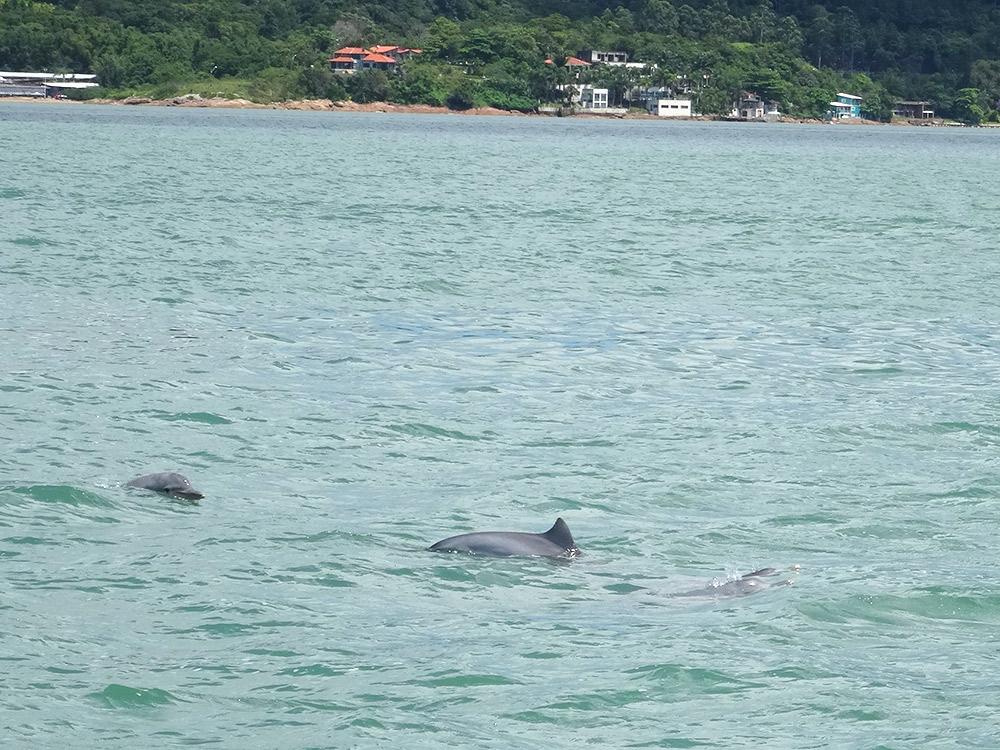 No passeio de escuna em Florianópolis você passa pela Baía dos Golfinhos, onde tem.. golfinhos! Clique no link para ver mais fotos e ler o post completo!