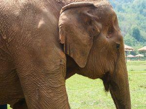 Elephant Nature Park – Passeio ético com elefantes na Tailândia