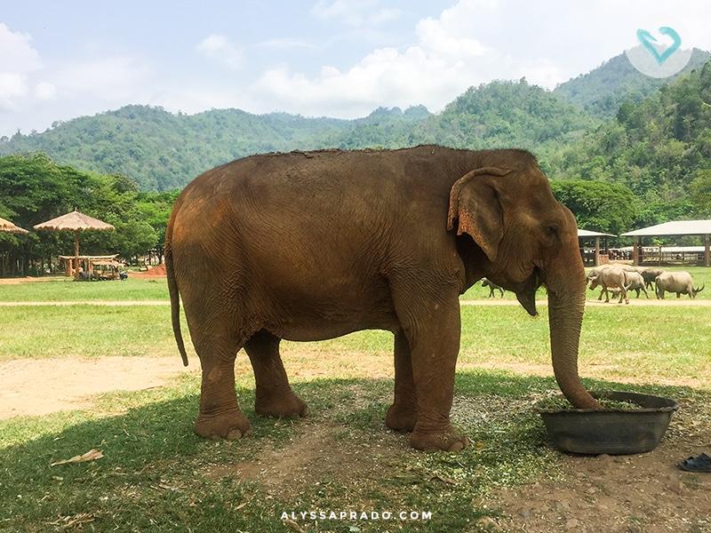Conheça o Elephant Nature Park, passeio ético com elefantes na Tailândia. Nada de montar, apresentações ou crueldade, apenas elefantes vivendo com suas famílias em paz. Clique no link para ler mais!