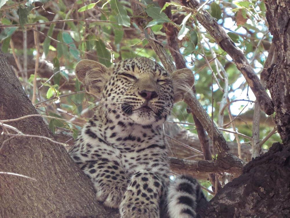 Leopardos no Kruger Park! Descubra tudo sobre como é fazer um safári na África do Sul nesse post!