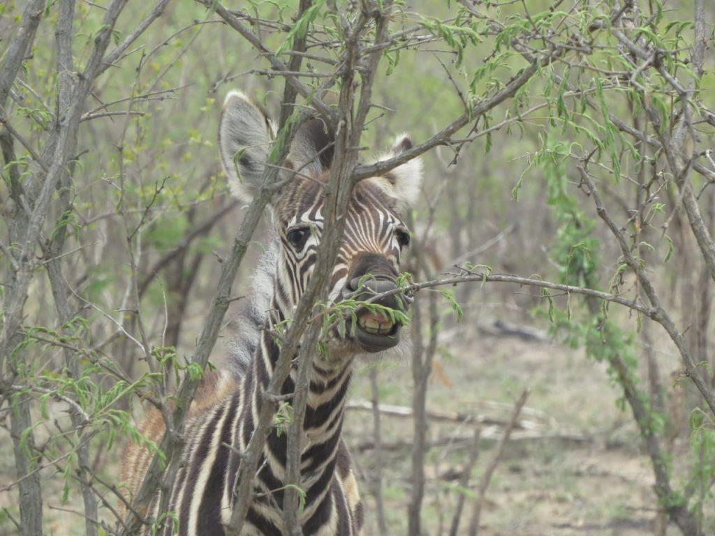 Animais no Kruger Park, o melhor lugar para fazer safári na África do Sul. Veja um roteiro completo pelo país nesse post!